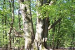 baumriese-im-sabawald