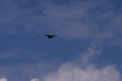freifliegender-seeadler