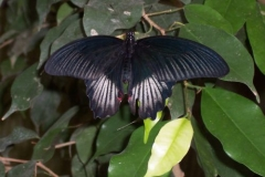 schwarzer-schmetterling